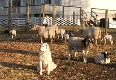 Maremma Guardian with her sheep